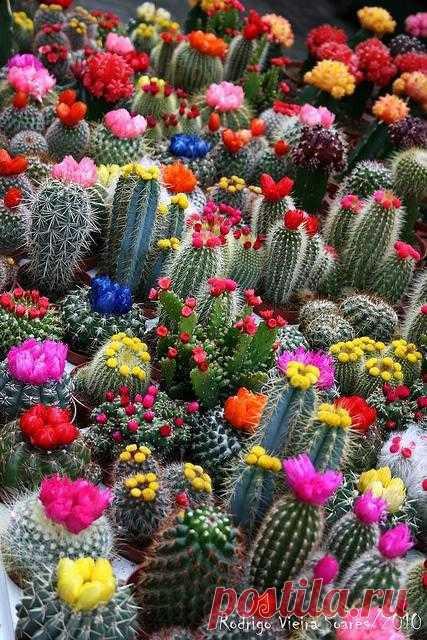 Кто бы мог подумать, что вот из такого колючего растения как кактус может появиться такая красота!