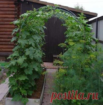 La cultivación de los pepinos sobre el arco