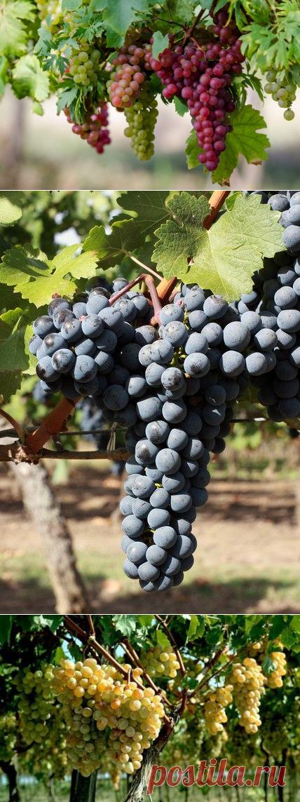 Выращивание винограда для начинающих садоводов