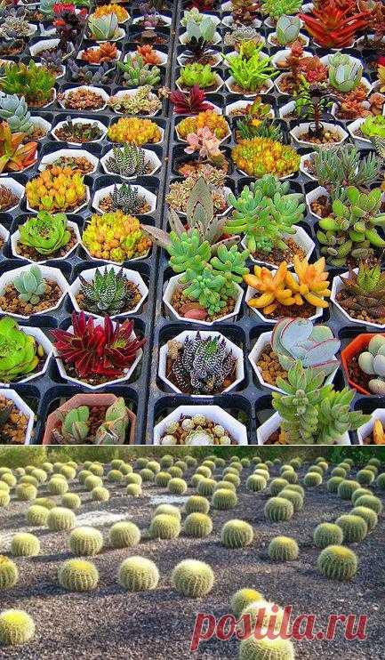 КАК? кактус от кактуса отличить. Этот обитатель пустынь отменный компаньон для любителей домашних растений с одним НО - отсутствием времени и желания усердно ухаживать за растениями.