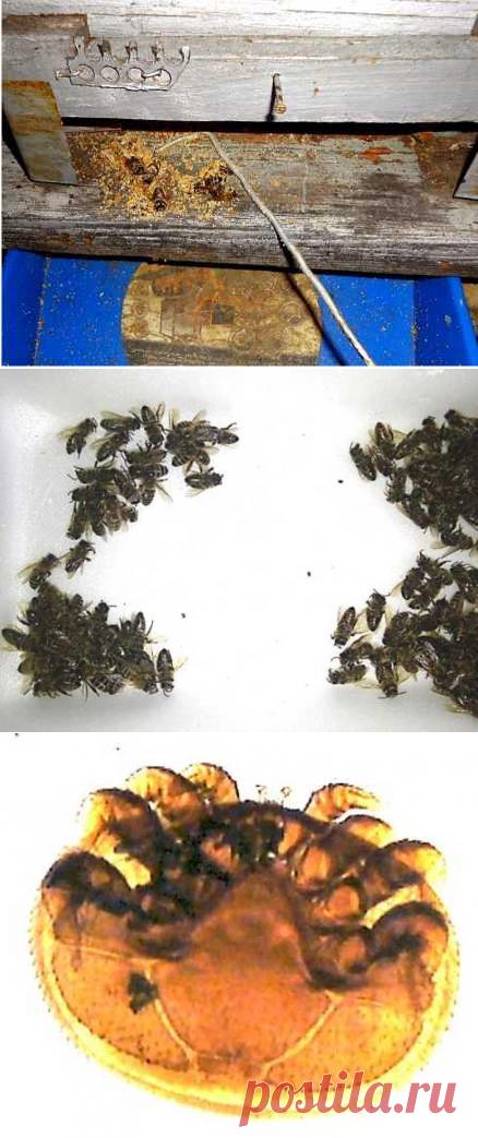 Варроатоз пчел - современные методы обработки и лечения