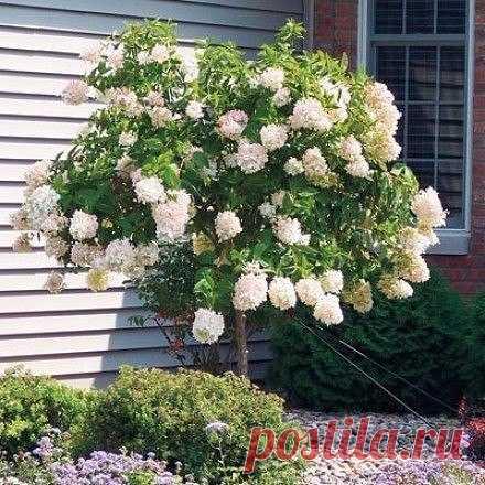 Como hacer shtambovoe el arbolito de la hortensia | 6 sotok