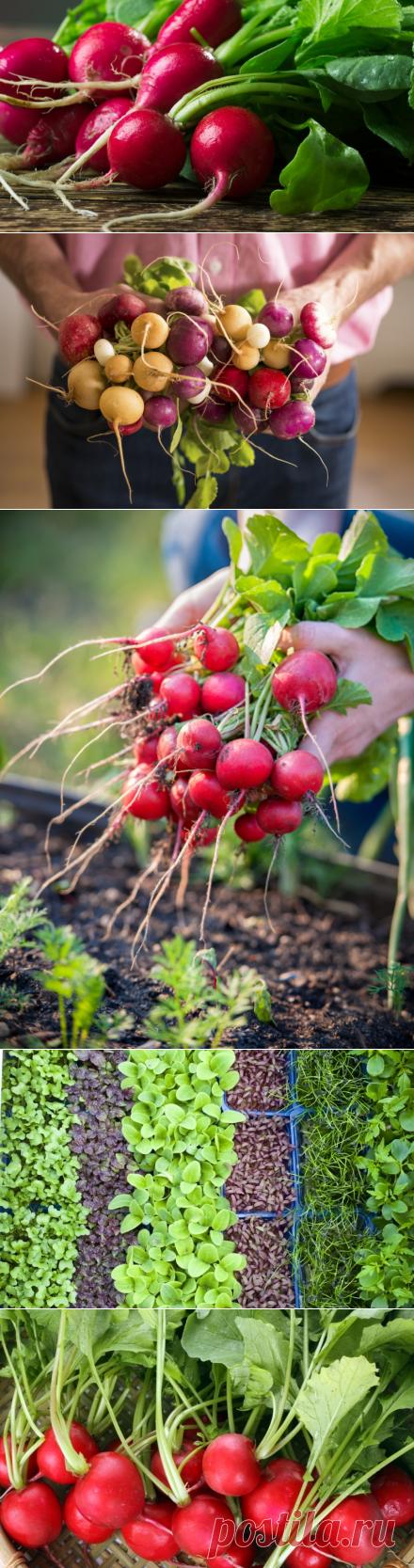 Как вырастить вкусный редис?   Растения