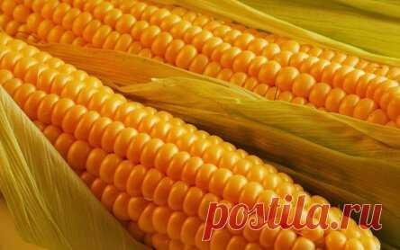 Можно ли применять отвар початков кукурузы?