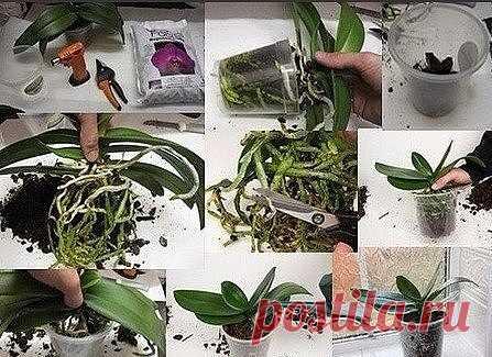 Пошаговая Инструкция по Пересадке Фаленопсиса (Орхидея) Мы эту информацию собирали по крупицам, сохраняйте для себя и делитесь с друзьями. Старались для вас, дорогие). В интернете такого не найдете. Шаг 1 Достаньте орхидею из горшка и положите её в широкий таз. Чтобы вам легче было вытащить орхидею, помните слегка стенки горшка. Если это не поможет – аккуратно, чтобы не повредить воздушные корни фаленопсиса, разрежьте или разбейте старый горшок. Обычно, чем сильнее развита...
