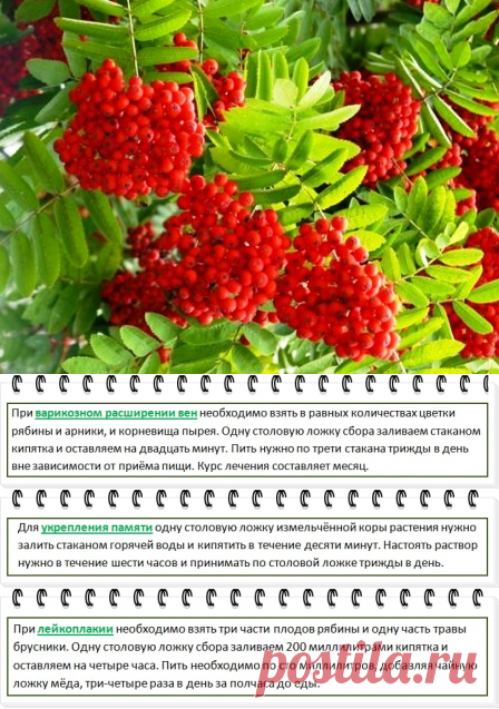 Mountain ash red, useful properties and contraindications