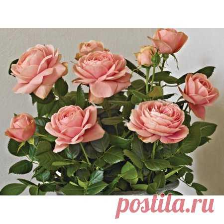Rose Miniature Patiohit® 'Carmela' - Everblooming/Fragrant - 4
