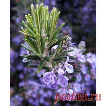 Rosemary Plant - 3