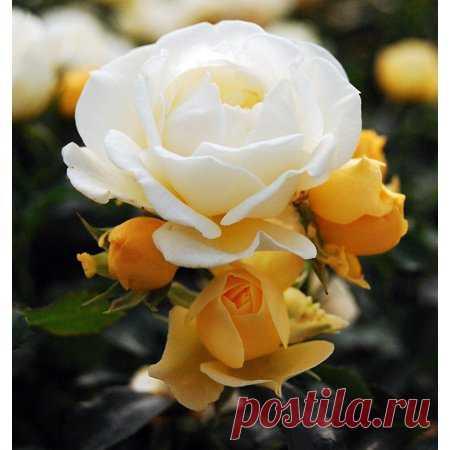 Popcorn Drift Rose - Disease Resistant - 4