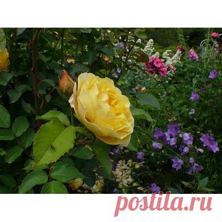 LAMINATED POSTER Rose Bloom Yellow Plant Bloom Roses Blossom Poster Print 24 x 36 - Walmart.com Buy LAMINATED POSTER Rose Bloom Yellow Plant Bloom Roses Blossom Poster Print 24 x 36 at Walmart.com