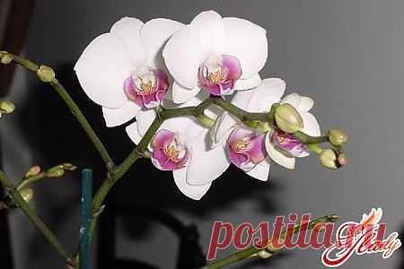 Орхидея Фаленопсис: уход за растением
