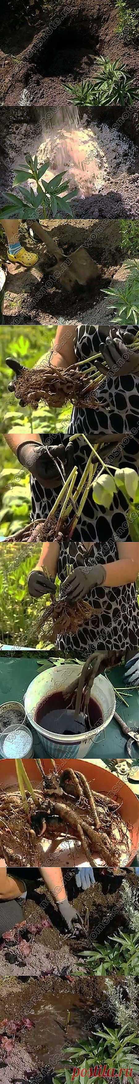 Cuando trasplantar las peonías | la Floricultura | el sitio Femenino