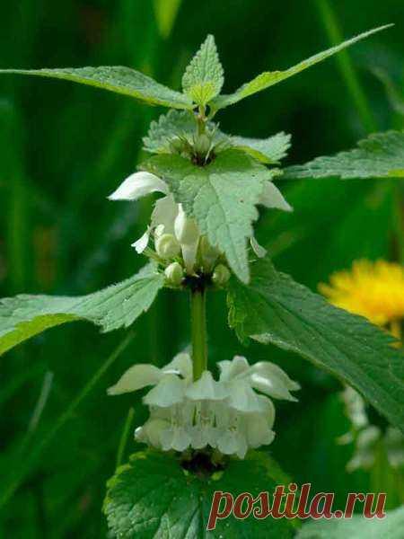 Трава яснотка: лечебные свойства и противопоказания, фото и описание