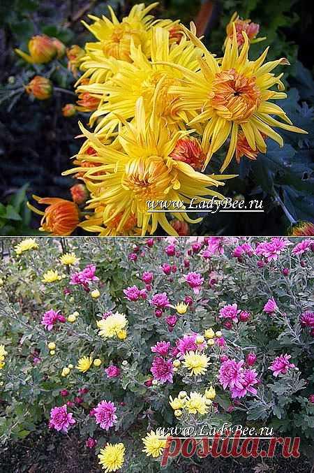 Хризантема (Chrysanthemum) - комнатные растения и цветы для сада: выращивание, местоположение, температура, полив, пересаживание, размножение, болезни и вредители