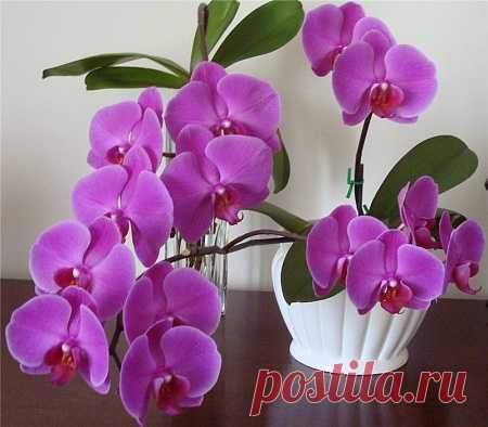 *У фаленопсиса нет корней. Укоренение в воде - Все о комнатных растениях на flowersweb.info