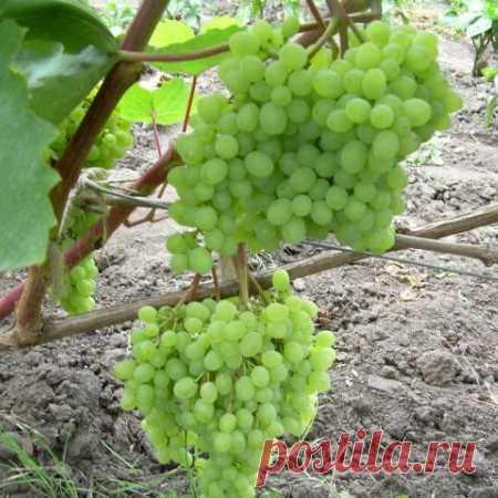 Виноград столовый Элегант сверхранний (артикул: 1326 ) — купить саженцы в интернет-магазине «Удачный огород»