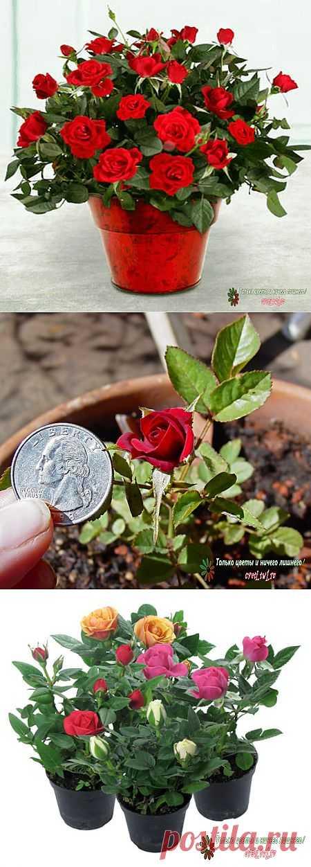 Мини-роза