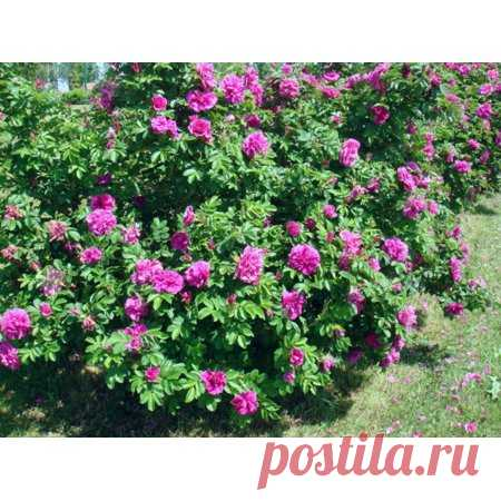 Red Rugosa Rose Seeds - Rosa rugosa, Pink - 25 Seeds - Walmart.com Free Shipping. Buy Red Rugosa Rose Seeds - Rosa rugosa, Pink - 25 Seeds at Walmart.com
