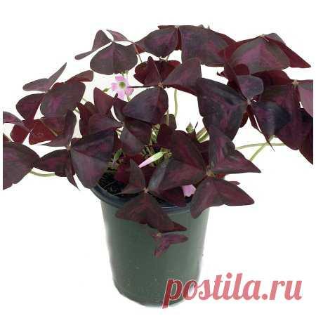 Rare Purple Rain Shamrock Plant - Easy Houseplant  - Oxalis Francis - 4