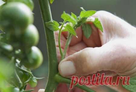 Как правильно пасынковать помидоры в теплице, пошаговое фото