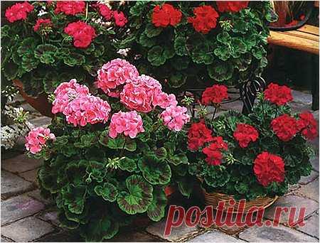 9 НЕДУГОВ, КОТОРЫЕ ЛЕЧИТ ГЕРАНЬ - Сайт для женщин Пеларгония домашняя (герань) — растение, которое раньше считали цветком аристократов. Ее восхитительные пышные цветы и яркий окрас станут украшением любого жилища.  Но герань — это не просто красивый цветок. Ее лечебные свойства сложно переоценить. Мы расскажем вам, как именно использовать это неприхотливое растение. Обратите внимание, что все без исключения виды герани обладают целебными свойствами. …