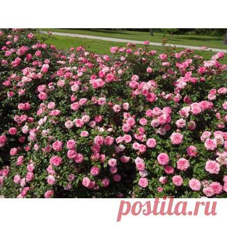 Sweet Drift Rose - Disease Resistant - 4