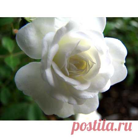 Snow Bride Miniature Rose Bush - Fragrant/Hardy - 4