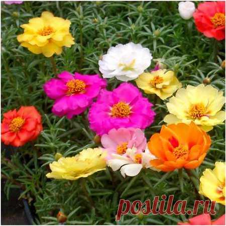 Packet of 1,000 Seeds, Portulaca
