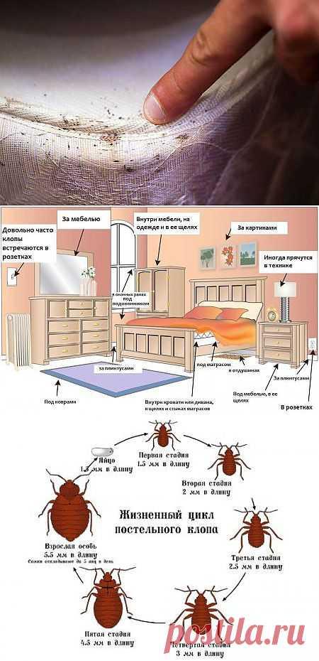 Постельные клопы: лечим укусы правильно - симптомы, причины, лечение