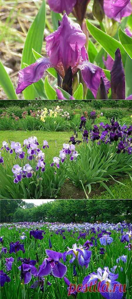 Июль - время делить бородатых касатиков. Ирисы, или касатики, - растения, потрясающие воображение своим многообразием, красотой форм и окрасом цветка. В целом они неприхотливы, но требуют обязательной процедуры - деления.