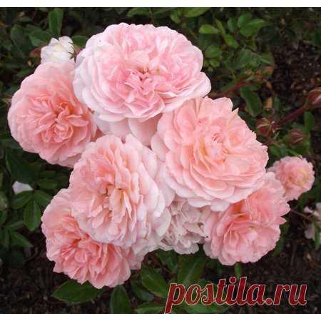 Apricot Drift Rose - Disease Resistant - 4