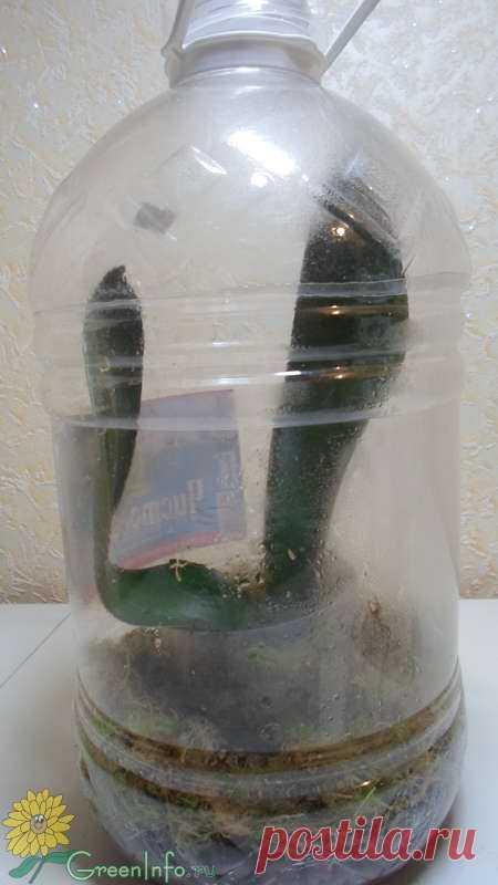 прошу взглянуть на мой фаленопсис - Форум - Фаленопсис гибридный - Фаленопсис - Орхидеи - Комнатные растения - GreenInfo.ru