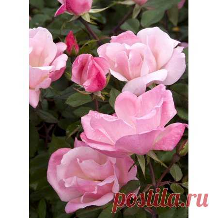 Blushing Knock Out Rose - 4