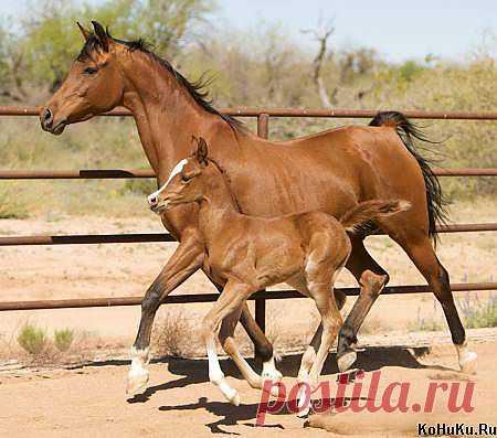 Жеребёнок бегает в леваде со своей мамой » Фото лошадей » Сайт о лошадях KoHuKu.ru