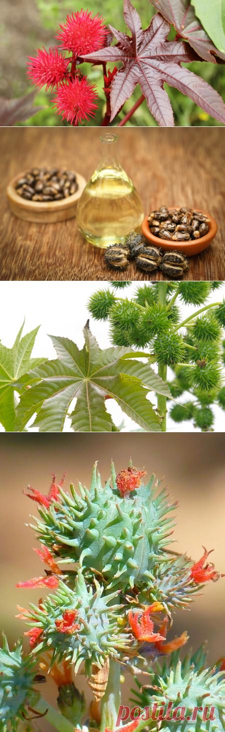 Как вырастить прекрасную и удивительную клещевину? | Растения