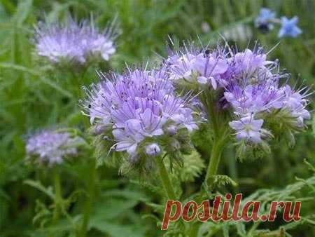 Сидерат фацелия — зеленое удобрение для огорода   6 соток