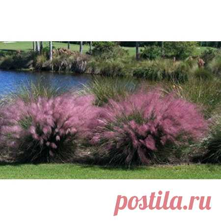 Pink Muhly Grass Plant in a 4 Inch Container - Walmart.com Free Shipping on orders over $35. Buy Pink Muhly Grass Plant in a 4 Inch Container at Walmart.com