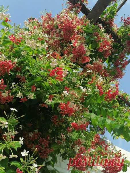 Rangoon creeper Blooming this summer!!