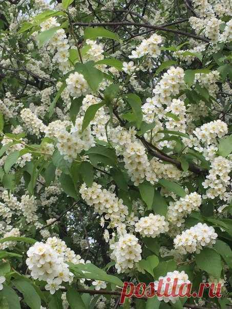 San Petersburgo a nosotros este año la primavera ha retrasado. ¡Hoy, el cerezo aliso florece!!!