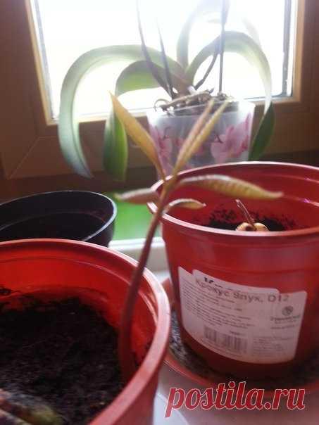Косточка манго дала росток