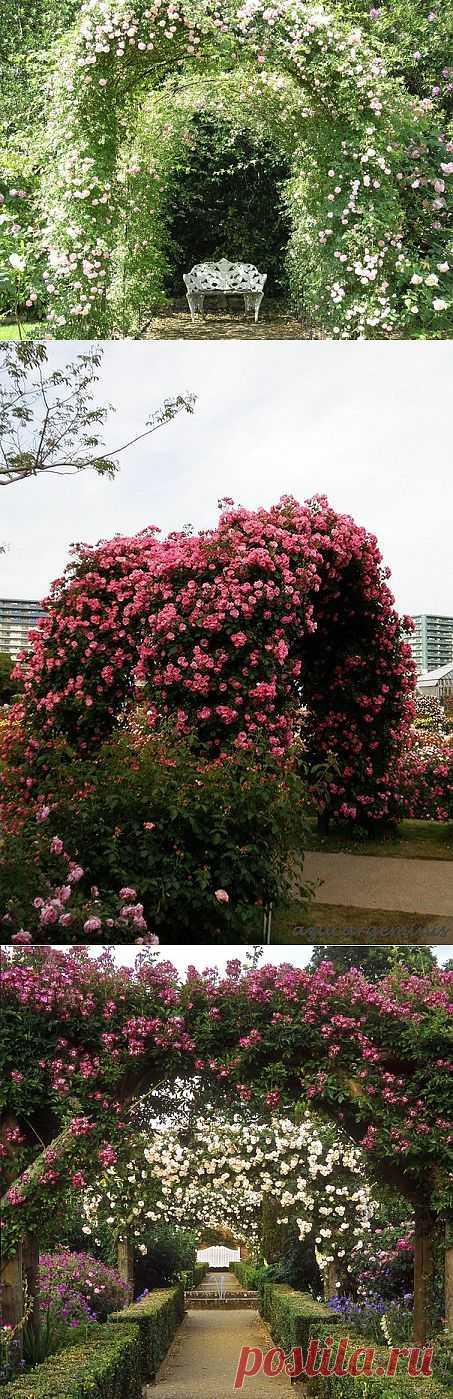 Розы и садовые арки из них.