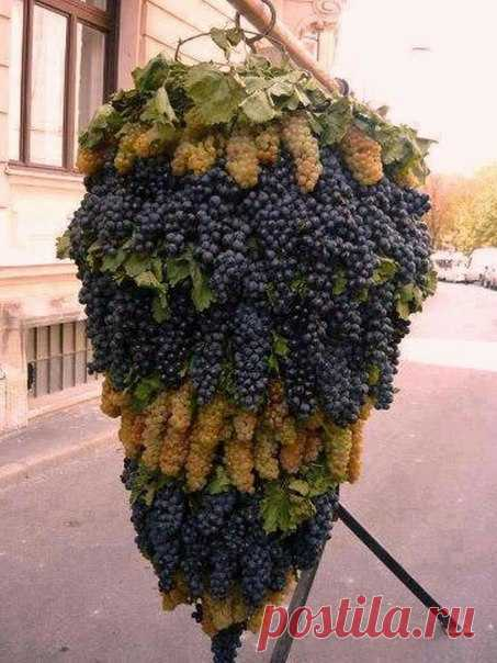 Вот это гроздь винограда!