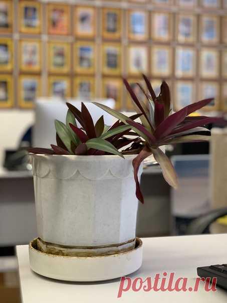 Широко распространенное мнение о том, что комнатные растения способствуют очистке воздуха в помещениях, оказалось заблуждением: nat-geo.ru/science/pochemu-komnatnye-rasteniya-ne-uluchshayut-kachestvo-vozduha/ Но мы решили не расстраиваться. В конце концов, даже если цветок в горшке и не сделает воздух чище, на него как минимум приятно смотреть. Присылайте в комментариях фото растений из ваших квартир и офисов – выберем лайками самое-самое! А начнем с флоры, что на столе у нашего редактора…