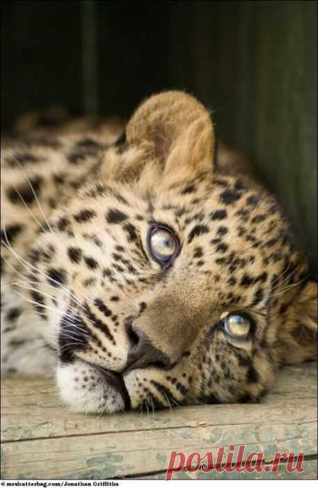 Красивые животные дикой природы Британский фотораф Джонатан Гриффитс — очень рискованный человек, т.к. он самостоятельно делает снимки диких хищников с расстояния всего нескольких сантиметров. Рискуя своей жизнью он сделал эти кадры львов, медведей и других хищников… Он получил камеру на свой день рождения от невесты, чтобы фотографировать их новорожденного сына Однако, проведя некоторое время в местном зоопарке,  решил, что хочет сфотографировать хищников на воле.