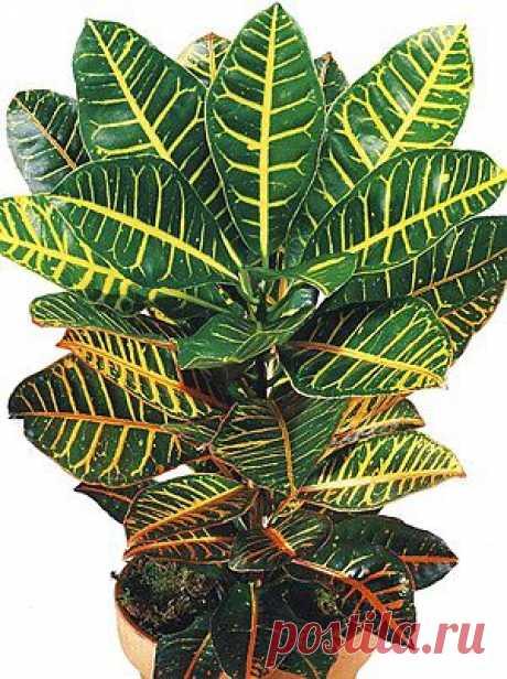 Комнатное растение кротон – уход, размножение, фото | Любимые цветы
