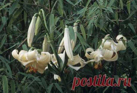 Кандидум-гибрид, лилия терракотовая (Lilium x testaceum)