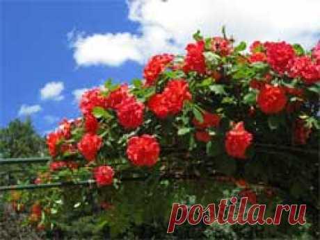 """Как выращивать плетистые розы - Свое хозяйство * - Сборник - Познавательный Интернет-журнал """"Умеха - мир самоделок"""""""