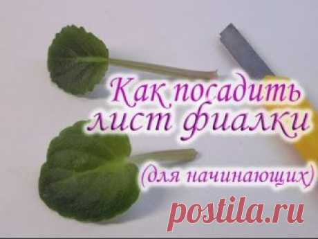 How to put a leaf of a violet. How to grow up a violet from a leaf. Rooting of a sheet shank of a violet.