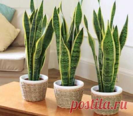 Хотя бы одно из этих растений должно быть у каждого дома. Ведь они — кислородные бомбы
