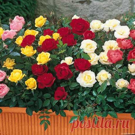 Как сделать розарий? - описание, размножение, уход, посадка, фото, применение в саду, сорта и виды Как сделать розарий